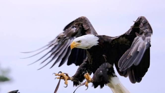 Beekse Bergen zoekt zeearend die wegvloog na roofvogelshow