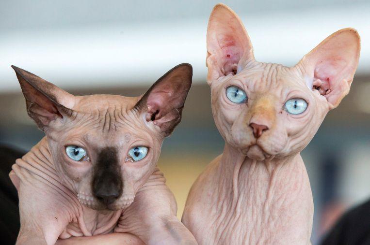 Twee haarloze Sphynx-katten.