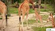 Giraffensoort Planckendael met uitsterven bedreigd