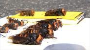 """Agressieve wespensoort duikt op in Vlezenbeek: """"Waarschuwing voor imkers uit de buurt"""""""