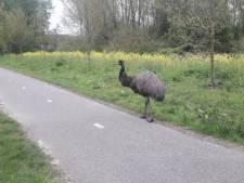 Emoe wandelt op het gemakje door Zoetermeer