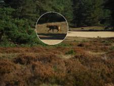 Waar precies leeft de wolf op de Veluwe? Dat wil Gelderland snel weten
