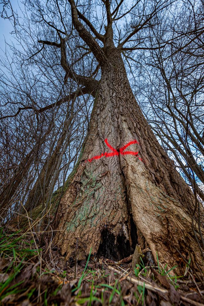 DS-2020-0863 Zalk - Twee monumentale zwarte populieren aan het Veerpad bij Zalk moeten gekapt worden. Ze zijn inmiddels voorzien van een rood kruis op de stam. Zijn erg zeldzame types, een van deze is dikste van het land. Editie FL Foto Freddy Schinkel, IJsselmuiden © FS20200211