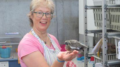"""Voorbije maand juli was drukste ooit voor Vogelopvangcentrum: """"Recordaantal dieren, vermoedelijk door droogte en hitte"""""""