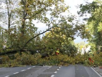 Antwerpsesteenweg in Westmalle afgesloten door omgewaaide boom