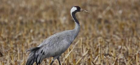 Kleine kraanvogeltjes verwacht: nieuwe vogels broeden nu ook in Brabant