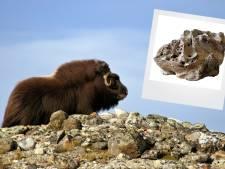 En wéér duikt er een archeologische parel op bij Over de Maas in Alphen: een hoorn van de reuzenmuskusos