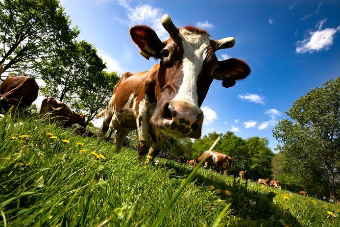 Juist in de zone rondom natuurgebieden zijn koeien in de wei heel wenselijk, aldus afzwaaiend natuurgedeputeerde Rik Grashoff.