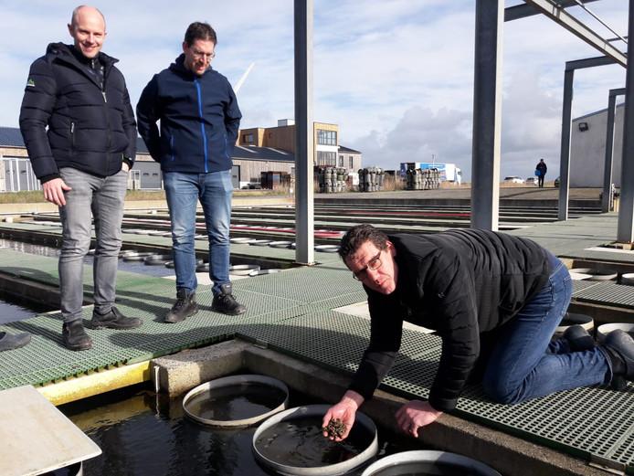 Zeeuwse oesterkwekers bezoeken een Franse kraamkamer voor babyoesters nabij Challans in Bretagne. Marcus Wijkhuis haalt wat oestertjes uit het bassin. Maurice boone (links) en Wouter Suykerbuyk kijken toe.