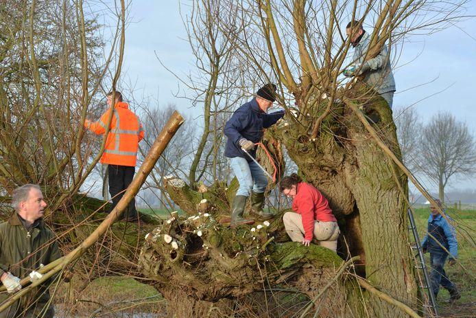 Vrijwilligers van de natuurwacht zijn grote delen van het jaar actief met het knotten van wilgen, zoals hier in Beusichem.