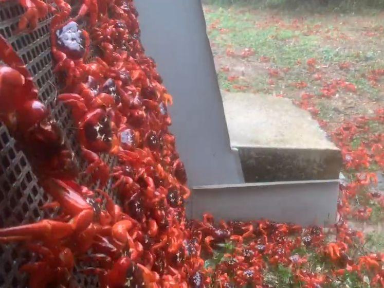 Elk jaar overspoelen miljoenen rode krabben dit Australische eiland