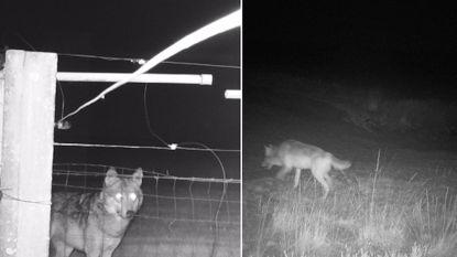 Pelts zomerkamp staat volledig in het teken van wolven (en is nu al uitverkocht)