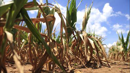 Droogte is uitzonderlijk: mogelijke financiële steun voor getroffen landbouwers
