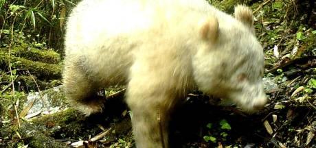 Geheel witte panda gespot in China
