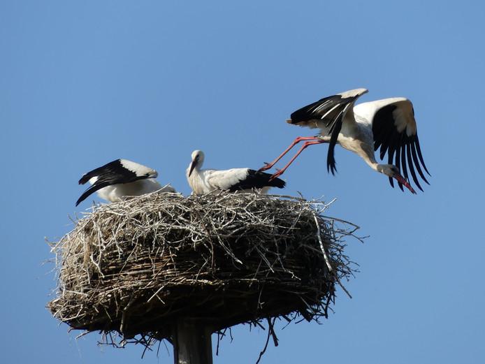 Er is kans op een nieuw kindje in Wijk bij Duurstede. Daar zijn deze jonge ooievaars klaar om uit te vliegen.