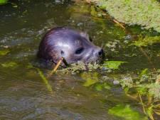 'Verdwaalde zeehond dobberde ook rond in Nieuwveen'
