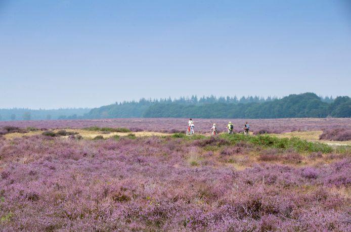 Bloeiende heide bij Ede. De uitstoot van stikstof heeft veel impact op kwetsbare natuurgebieden als de Veluwe.