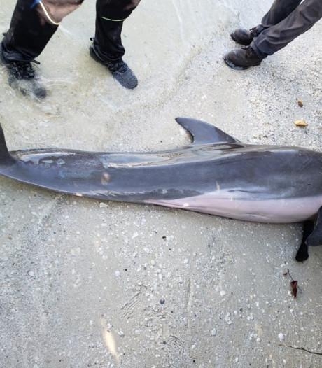 Dode dolfijn gevonden met plastic doucheslang in maag