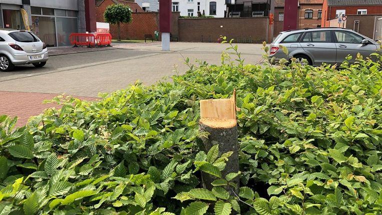 Onder andere deze boom aan het Krügercentrum werd slachtoffer van de fietser met de kettingzaag.