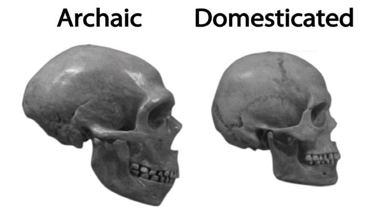 Neanderthaler (links) en een moderne mens. Goed te zien is hoe ons gezicht kleiner werd en platter, de kaak kleiner en de schedel ronder. Beeld Giuseppe Testa