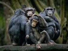 'Chimpansees krijgen betere band door samen een film te kijken'