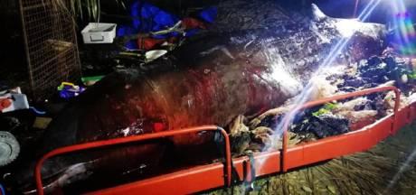 Dode walvis spoelt aan met 40 kilo plastic in maag: 'ernstigste vergiftiging ooit'