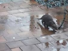 Ontsnapte otter uit Beesd teruggevonden na 'klopjacht'