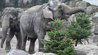 IN BEELD. In Berlijn komen kerstbomen nog goed van pas… voor de dieren van de zoo