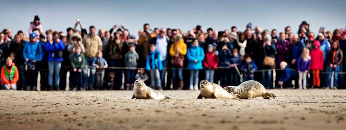 Zeehonden uit opvang A Seal in Stellendam die worden vrijgelaten op het strand van Renesse.