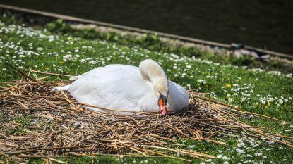 Dieven aan de haal met zwaneneieren in Brugge