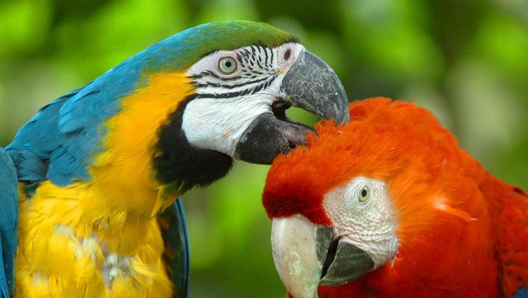 Twee papegaaien. Beeld epa