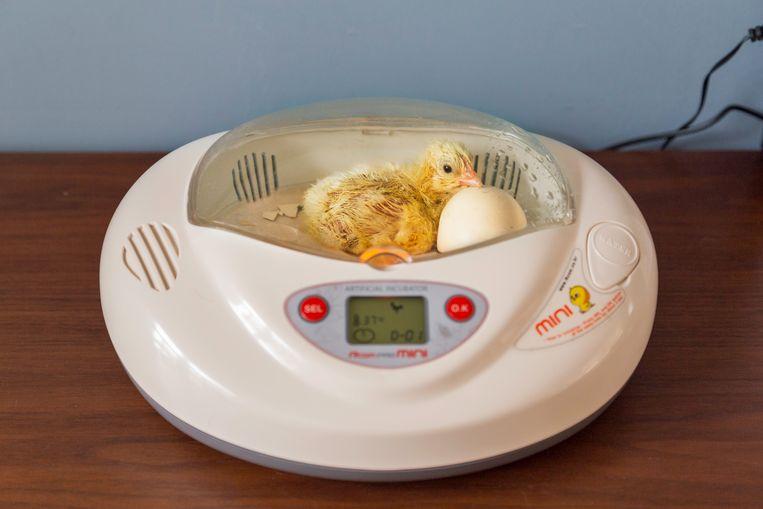 Kuiken in de broedmachine naast het ei dat uiteindelijk niet uitkomt.   Beeld Pauline Niks