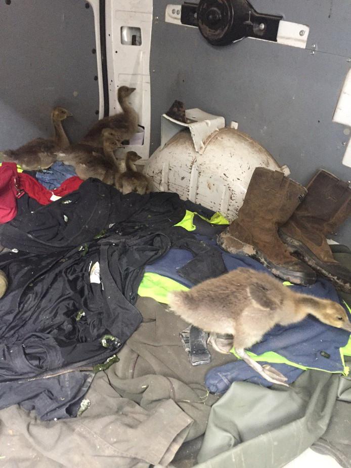 Zeventien 'pullen' - jonge ganzen - werden zondag geroofd uit natuurgebied Oostvaardersplassen. Boswachter Bertwin Bergman uit Bant achtervolgde de rovers tot in Almere. Daar wist de politie ze te pakken. Foto: Politie Flevoland