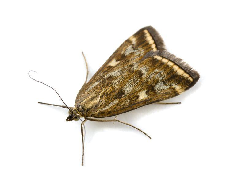Beet Webworm Moth (Loxostege sticticalis) isolated on white insecten tellen Beeld