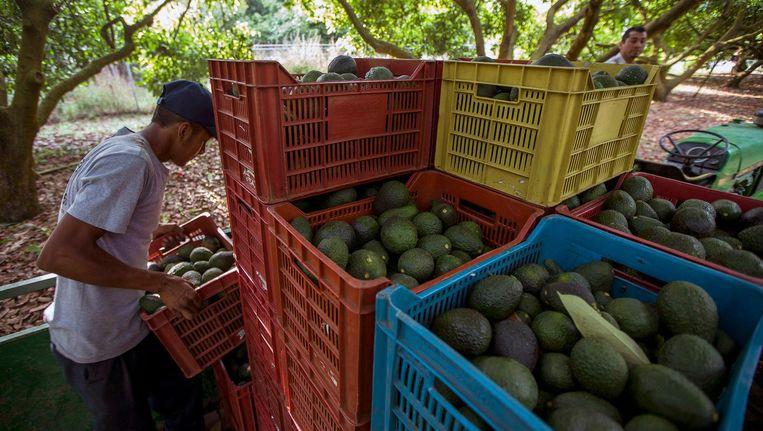 Boeren aan het werk op een avocadoboerderij in de Mexicaanse staat Michoacán de Ocampo op 6 april 2016. Beeld afp