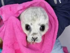 Kleinste zeehondenpup ooit opgevangen in Pieterburen