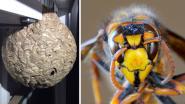 """Aziatische hoornaar vestigt zich definitief in Vlaanderen: """"Honderden koninginnen hebben zich verspreid"""""""