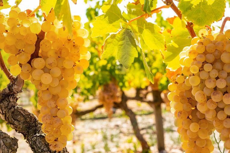 Xarel-lo-druiven