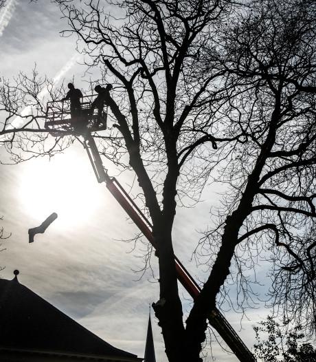 Monumentale zieke kastanjeboom Druten tegen de vlakte