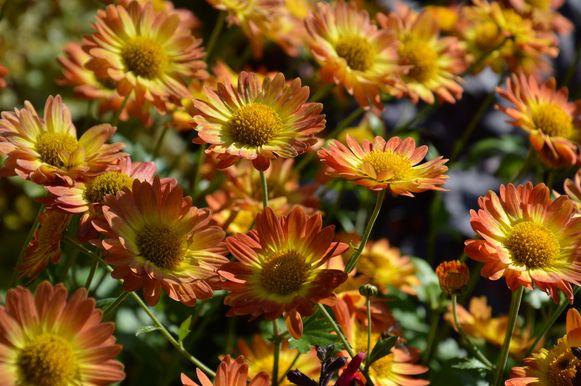 Deze tuinchrysanten kunnen vorst verdragen.