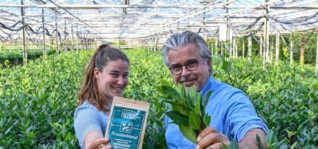 West-Brabantse telers komen met thee die goed is voor je bloedsuikerspiegel