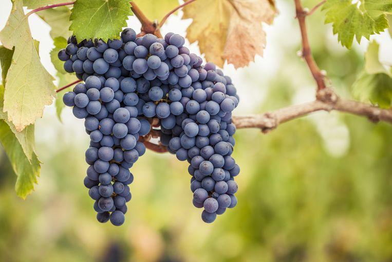 Pinot noir-druiven