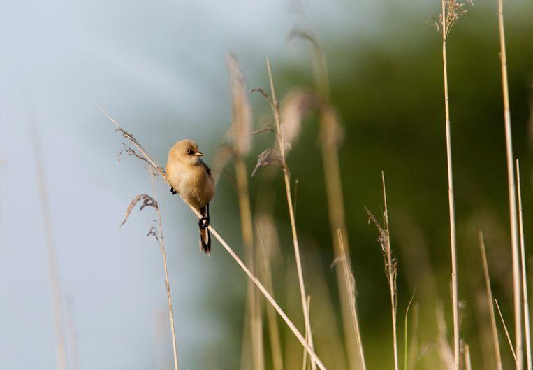 Het baardmannetje is een typische rietvogel, die nu ook op de Marker Wadden is gesignaleerd  Beeld Hollandse Hoogte / Sijmen Hendriks