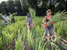 Tekort aan Oost-Europeanen zorgt voor kopzorgen bij tuinders in IJsselmuiden: 'Ze zijn onmisbaar'