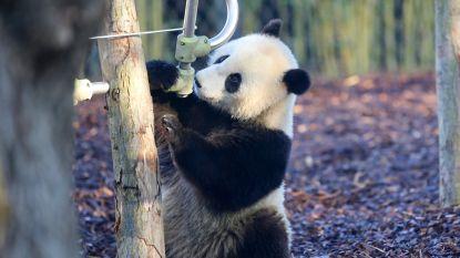 Tian Bao gaat alleen wonen