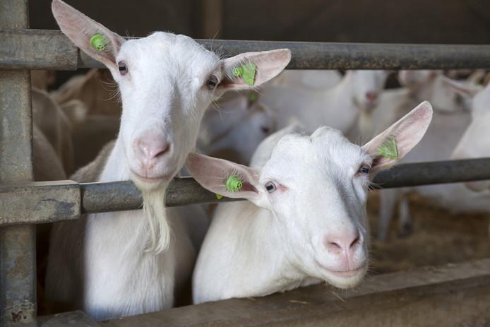 Ondanks het al ruim anderhalf jaar bestaande verbod op de bouw van nieuwe geitenstallen in Brabant neemt het aantal dieren in de provincie nog altijd toe. Vorig jaar waren het er 128.000, drie keer zoveel als begin deze eeuw.