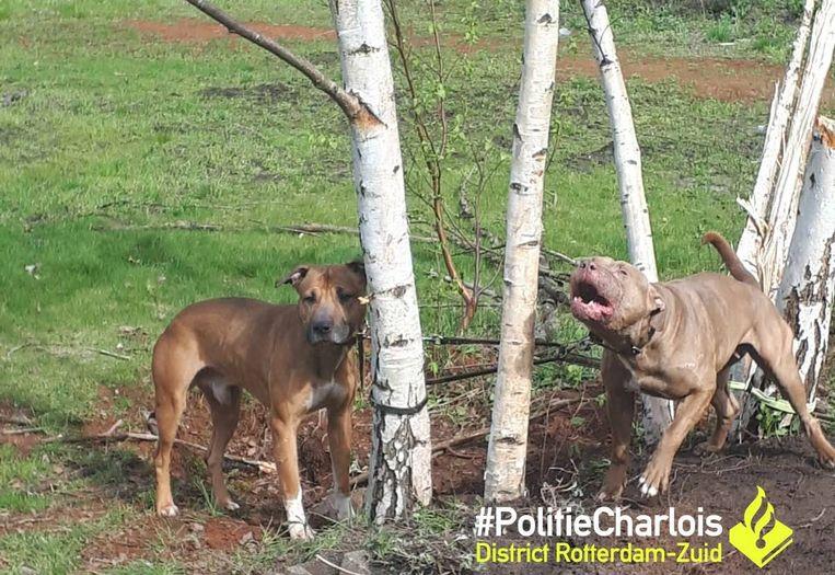 De pitbulls werden vandaag aangetroffen in het Zuiderpark.