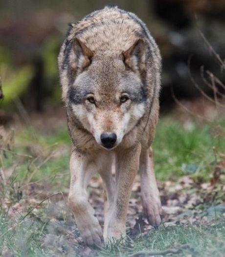 Deux moutons trouvés morts à Duffel, la piste d'un loup évoquée