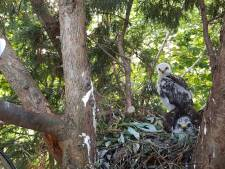Jonge buizerds in Westmaas nu ook het nest uit
