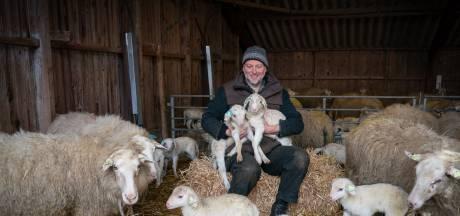 Bennekomse schapen zorgen voor een stortvloed aan lammetjes
